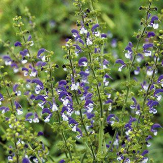buy more in spring 2014 -- Madeline Salvia Sage Plant