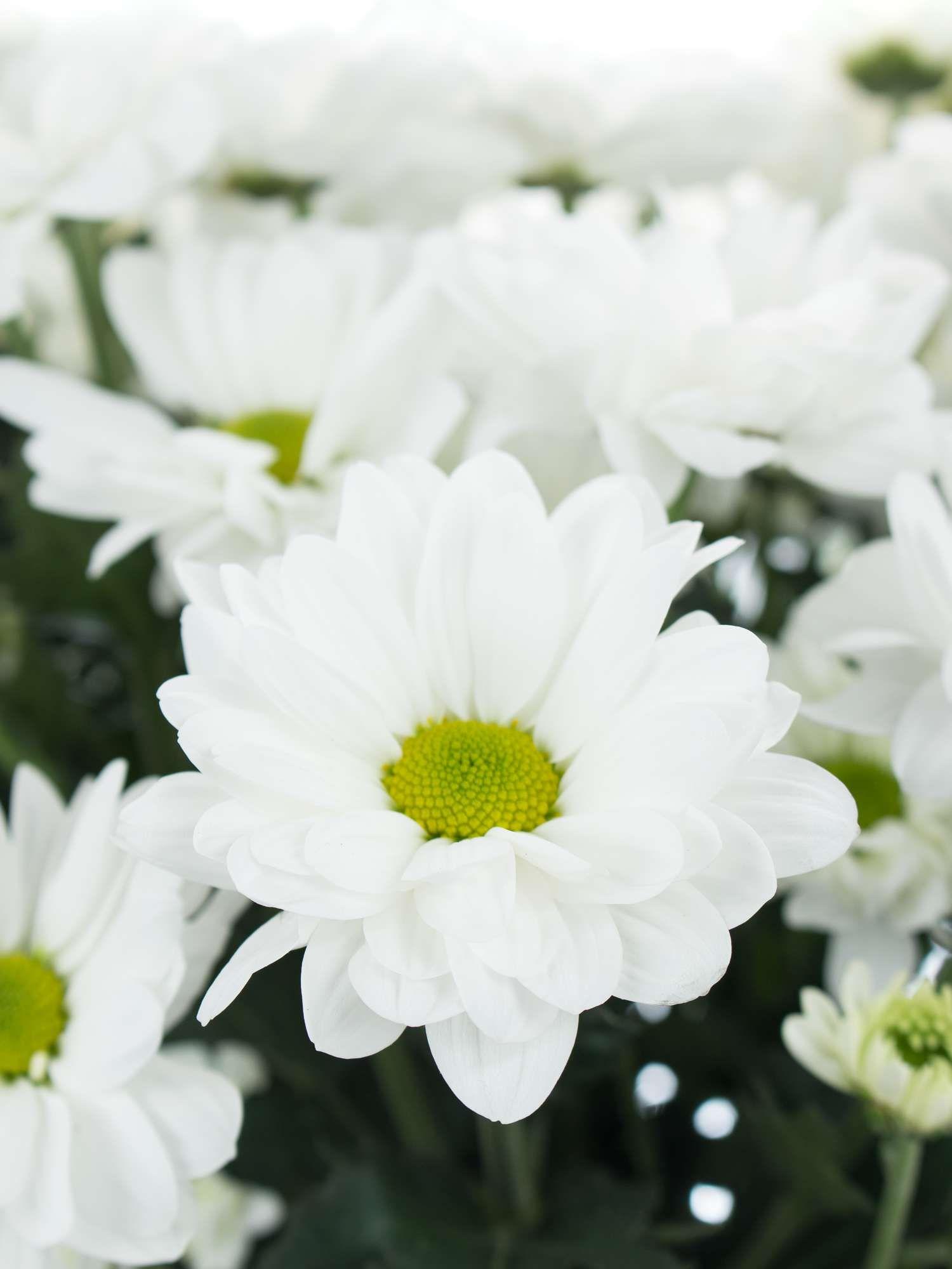 Chrysanthemen Verzweigt Bacardi Weiss Hochzeit Gelb Weiss