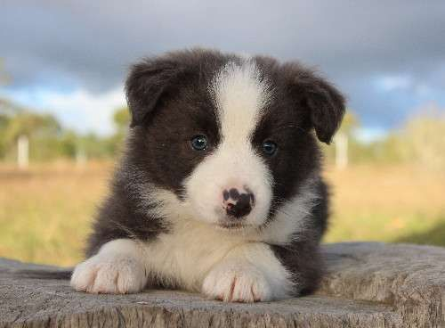 Pick Of The Litter Stunning Rare Blue Border Collie With Blue