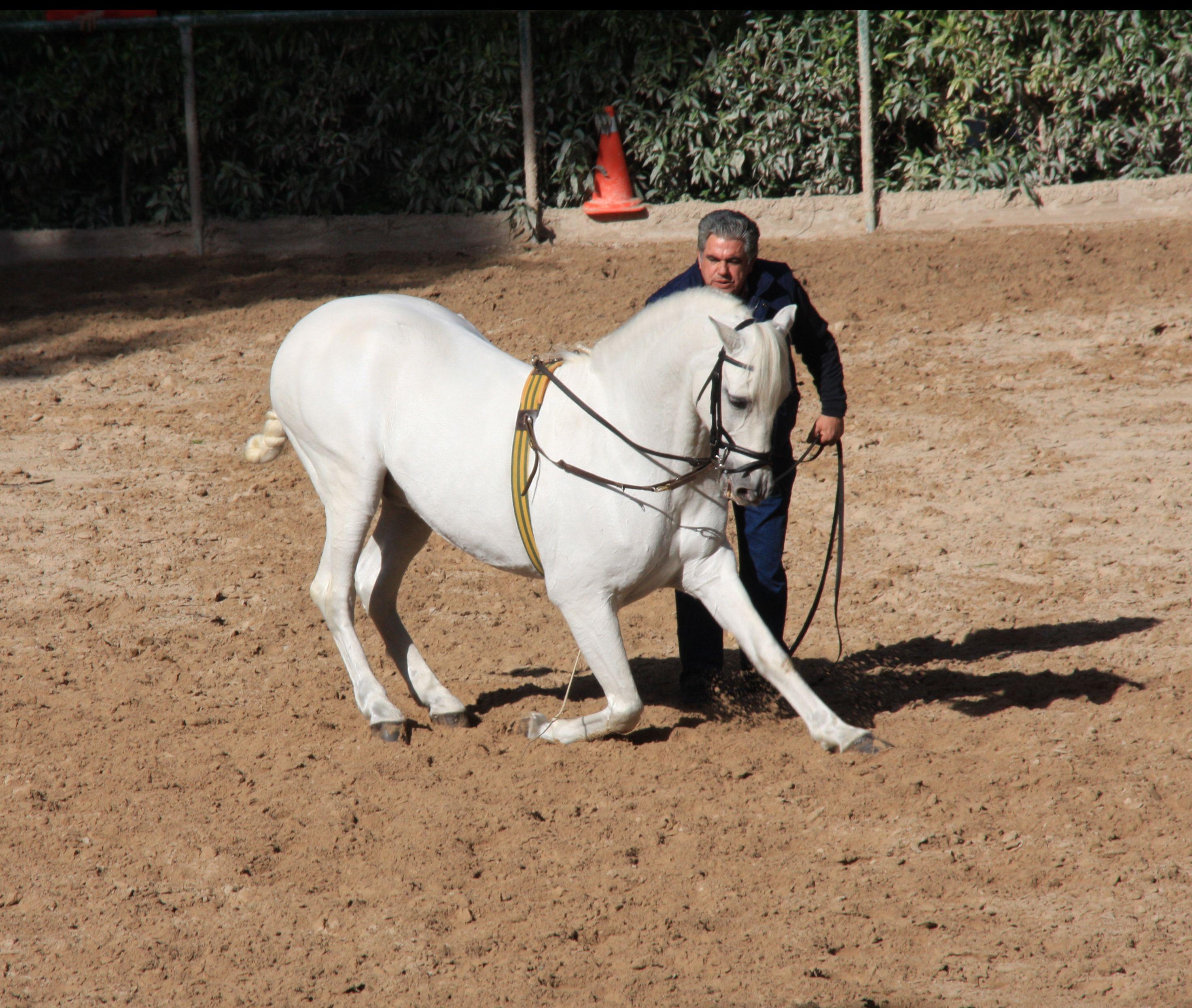 Spanish Stallion Mounted Police Palma Mallorca Spain Horses