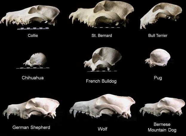 Canine Skull Google Search Animal Anatomy Pinterest Dog