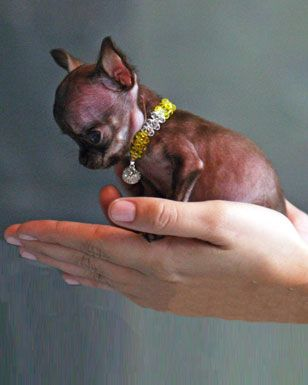 Oh Cuteness Alert A Lovely Mutt Milly Is The World S Smallest Dog