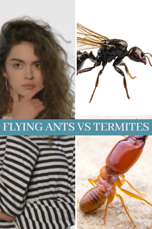 Between Flying Ants Vs Termites In 2020 Flying Ants Ants Termites