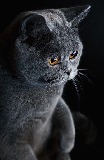 The British Shorthair Cat Cat Breeds Encyclopedia British Shorthair Cats Cat Breeds British Shorthair