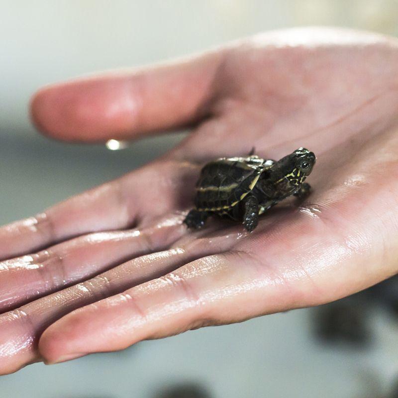 Baby Eastern Musk Turtles Musk Turtle Turtles For Sale Pet Turtle