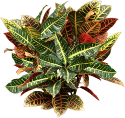 croton plant indoor guide to maintaining