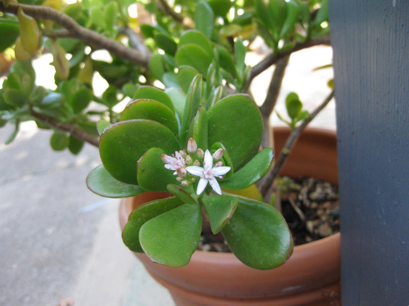 Planta de jade es excelente para activar la prosperidad for Feng shui plantas dentro del hogar