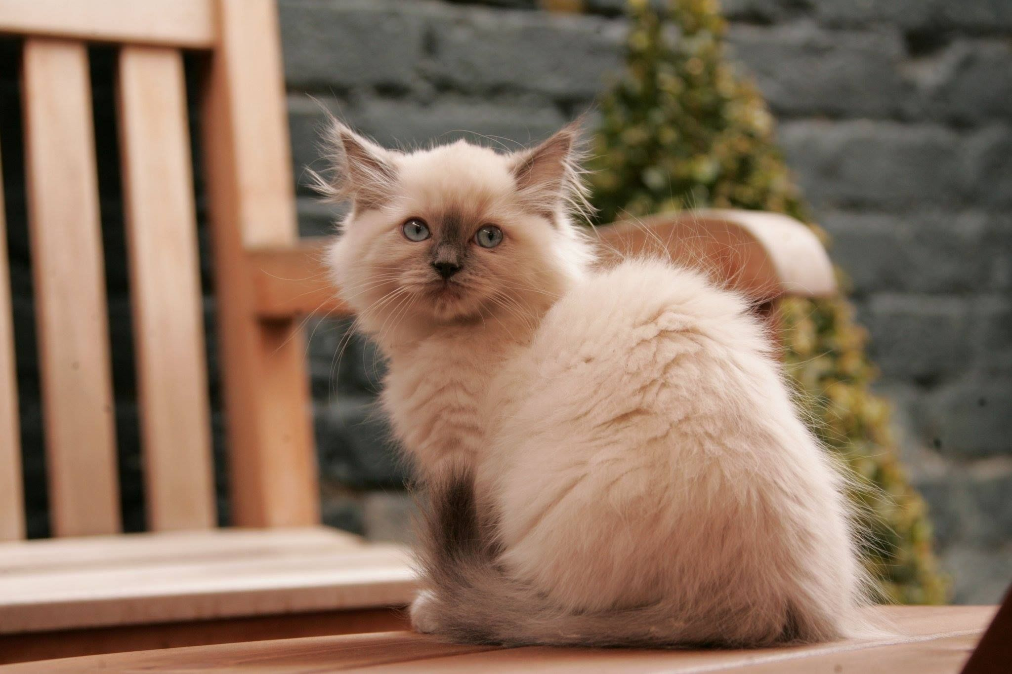 Magnificent Cat on Cat Breeds CBWP 6