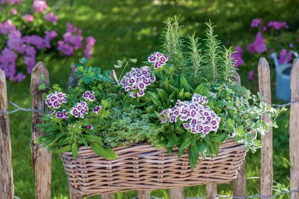 Nelkenpracht Fur Topf Und Beet Pflanzideen Nelken Pflanzen