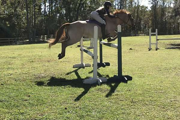 """""""FBS CALYPSO BAY""""    Calypso is a 9yro 14.2hh red dun QH mare. Athletically built, """"Cally"""" takes up a lot of leg and is comfortable with people of all heights riding her. Calypso has experience riding western on trails, roping,cow sorting,barrels, you name it."""
