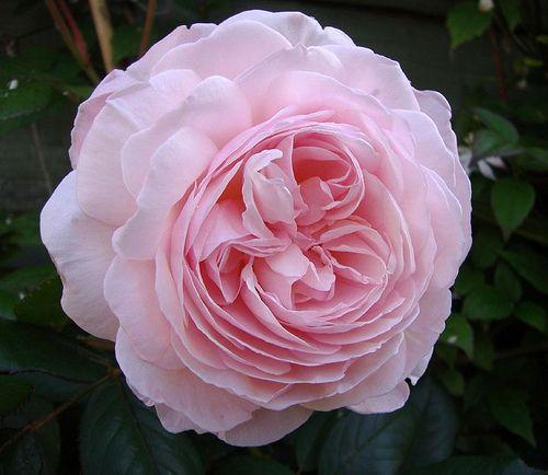 A Shropshire lad, a David Austin rose.