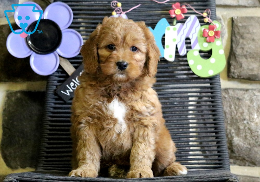 Apricot Miniature Puppies Goldendoodle Miniature Mini Goldendoodle Puppies