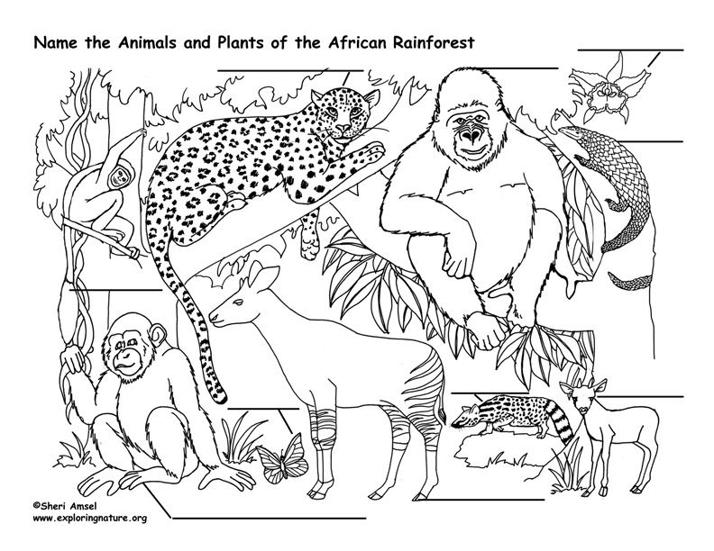 Label The Rainforest Animals Jungle Coloring Pages Rainforest