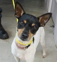 Rocky Is An Adoptable Rat Terrier Dog In Raleigh Nc Rocky Is A 2