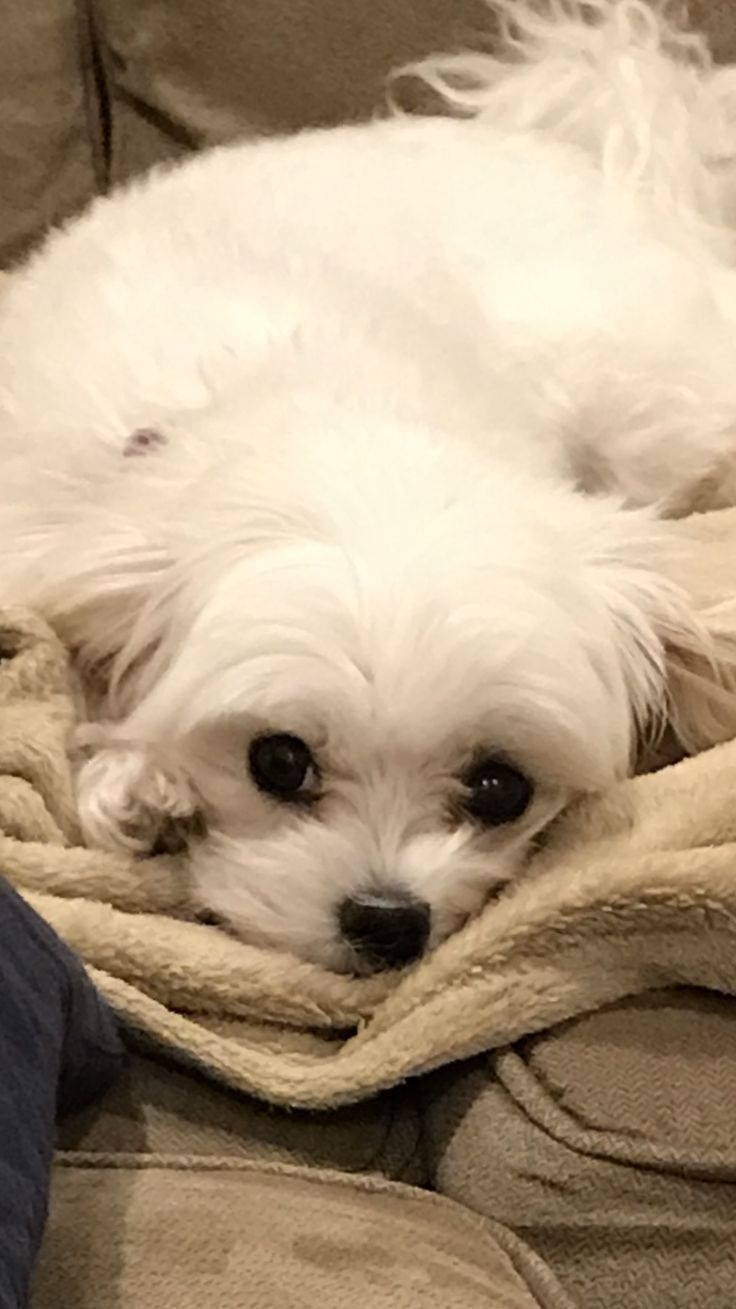 Pin By Frank Tedone On Cute Puppies Maltese Dogs Maltese Puppy