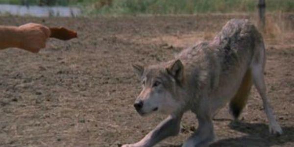 Two Socks Dances Wolves