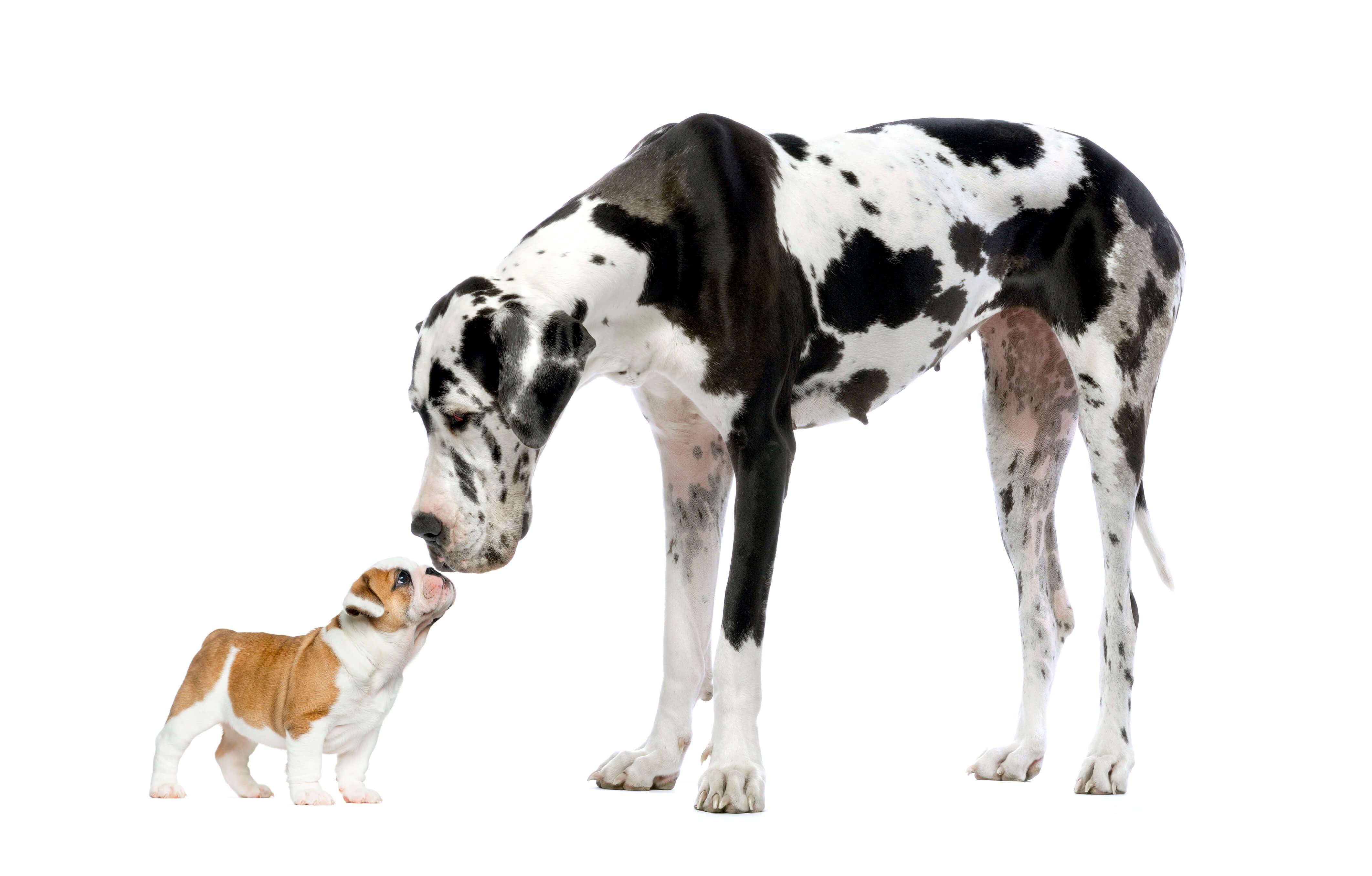 Related Image Great Dane Dog Benefits Big Dog Breeds