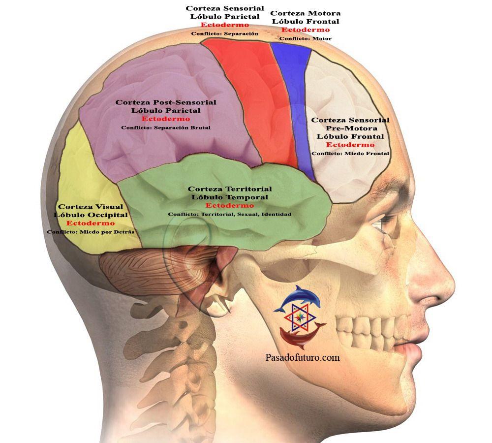 Cerebro Humano Nueva Medicina Germanica Hamer NMG Corteza Cerebral ...