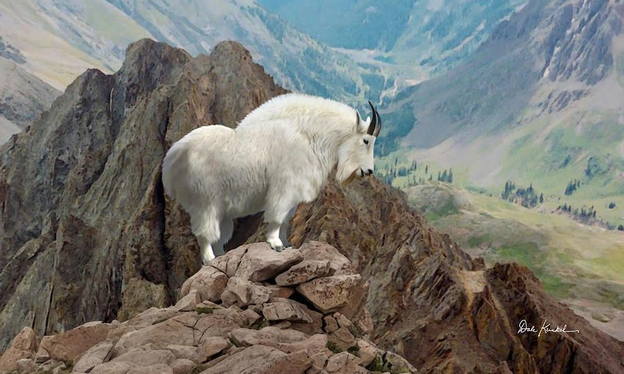 Wildlife Art Rocky Mountain Goat Fine Art Print Ab