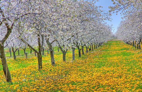 Traverse City Michigan Cherry Orchard Any Time Would Be Great Weather Any Time Traverse City Michigan Traverse City Michigan Travel