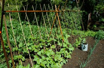 Pole Bean Trellis But Taller So You Can Walk Under It Easily Growing Green Beans Growing Beans Vertical Vegetable Gardens