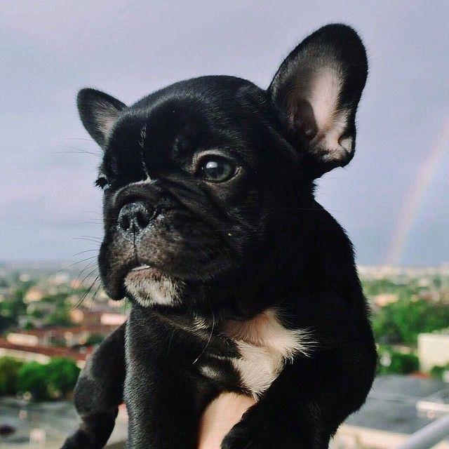 Baby Rocco French Bulldog Puppy Cute Animals Cute Puppy