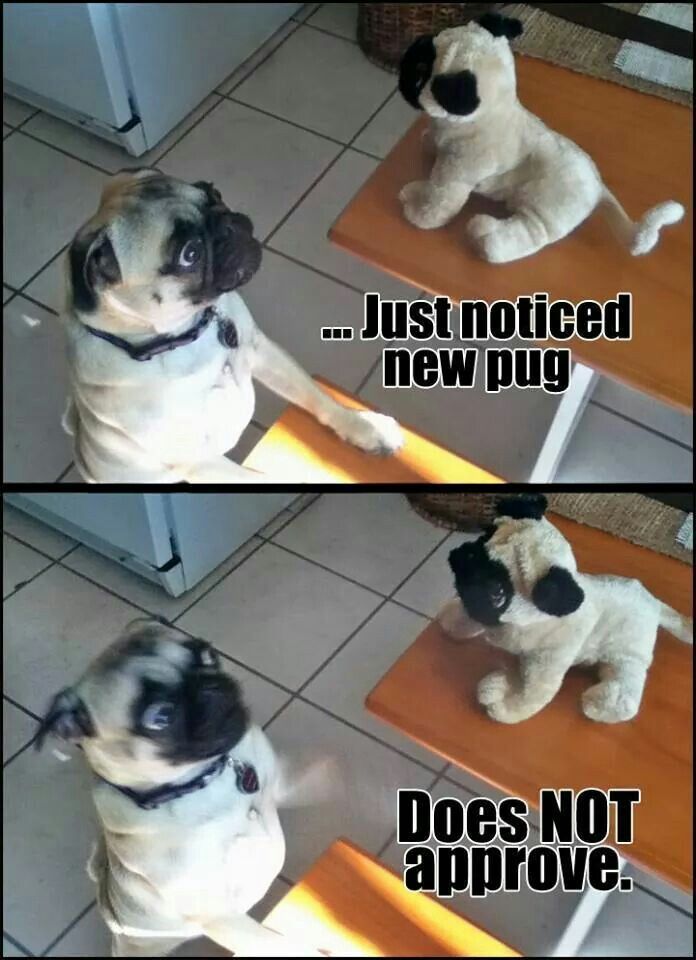 Pug Does Not Approve Pugs Cute Funny Animals Pug Love
