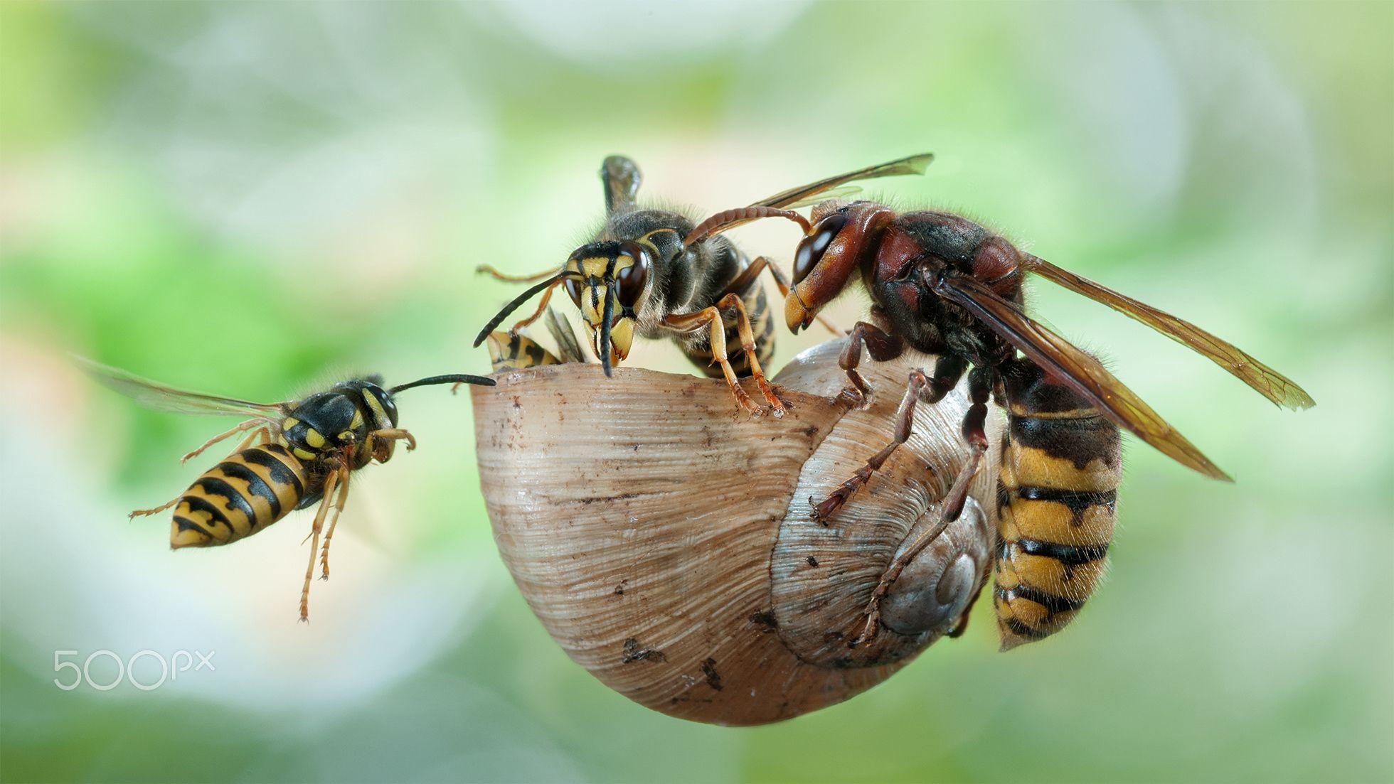 the wasp gang die mittlere wespe oder kleine hornisse dolichovespula media sitzt in der. Black Bedroom Furniture Sets. Home Design Ideas