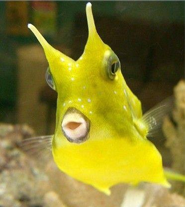 The Long Horned Cowfish Cow Fish Beautiful Fish Cute Fish