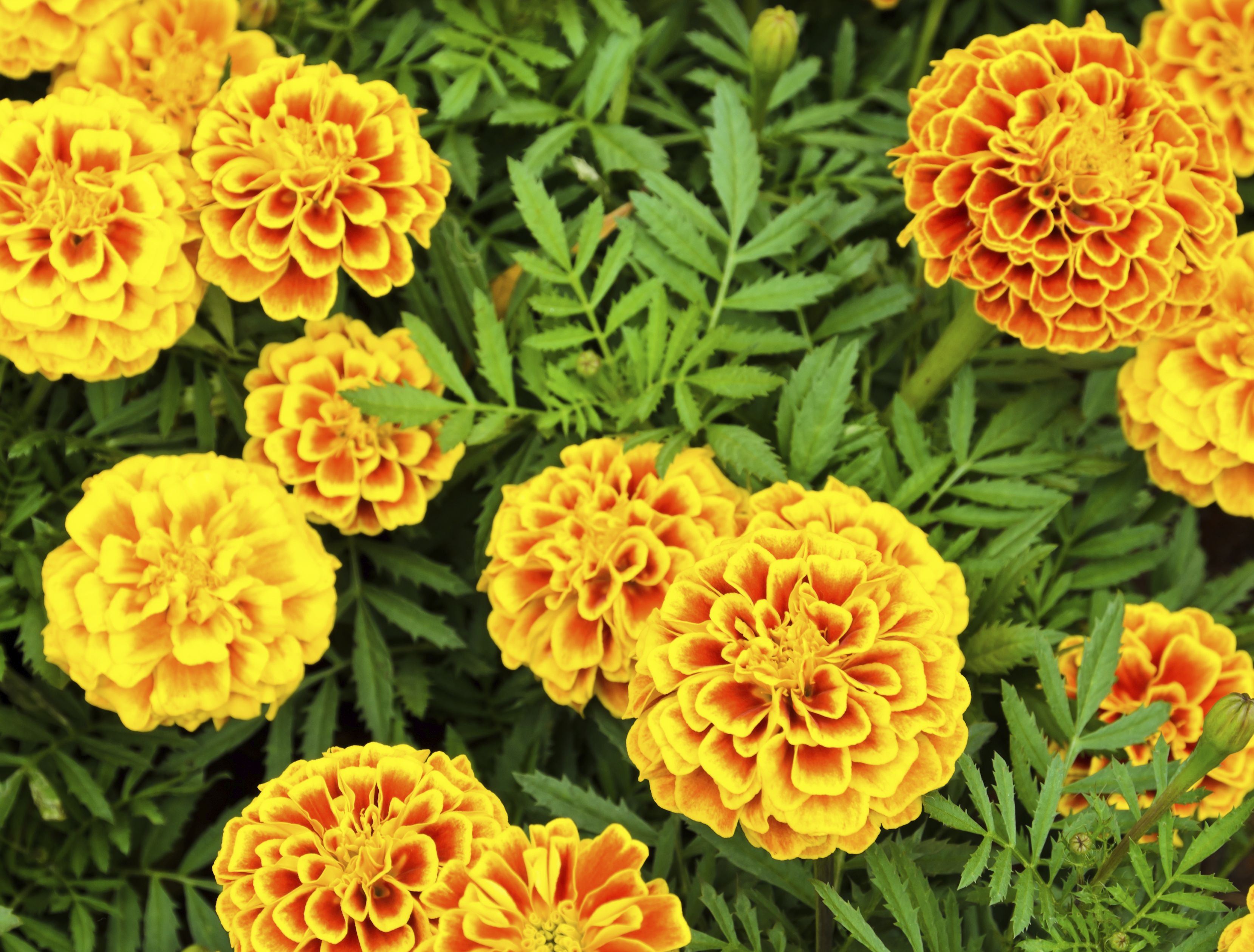 How to Make Chamomile Oil Marigold flower, Calendula