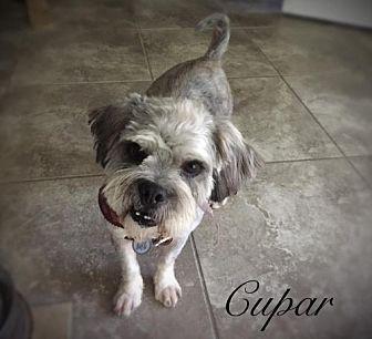 Tampa Fl Shih Tzu Standard Schnauzer Mix Meet Cupar A Dog For Adoption Https Www Adoptapet Com Pet 19664394 Tampa Flo Pets Dog Adoption Kitten Adoption