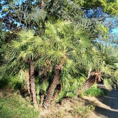 Le chamaerops est un palmier de petite taille aux feuilles en ventail formant presque une - Racine d un palmier ...
