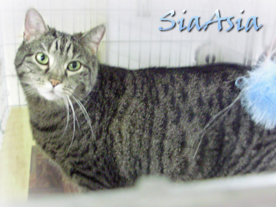 SIAASIA is a SPAYED female Domestic Shorthair available at the Pocahontas County Animal Shelter, in Marlinton, WV. Adoption fee is HALF-PRICE!  Photo 2 of 2  $25 PLEDGE from Brian J. Coffey  $10 PLEDGE from Mary Troccoli  If you can help SiaAsia, email: asapwva@gmail.com