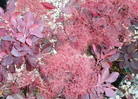 Peruckenstrauch Ist Winterhart Und Vertagt Gut Hitze Peruckenbaum Straucher Garten Gartengestaltung