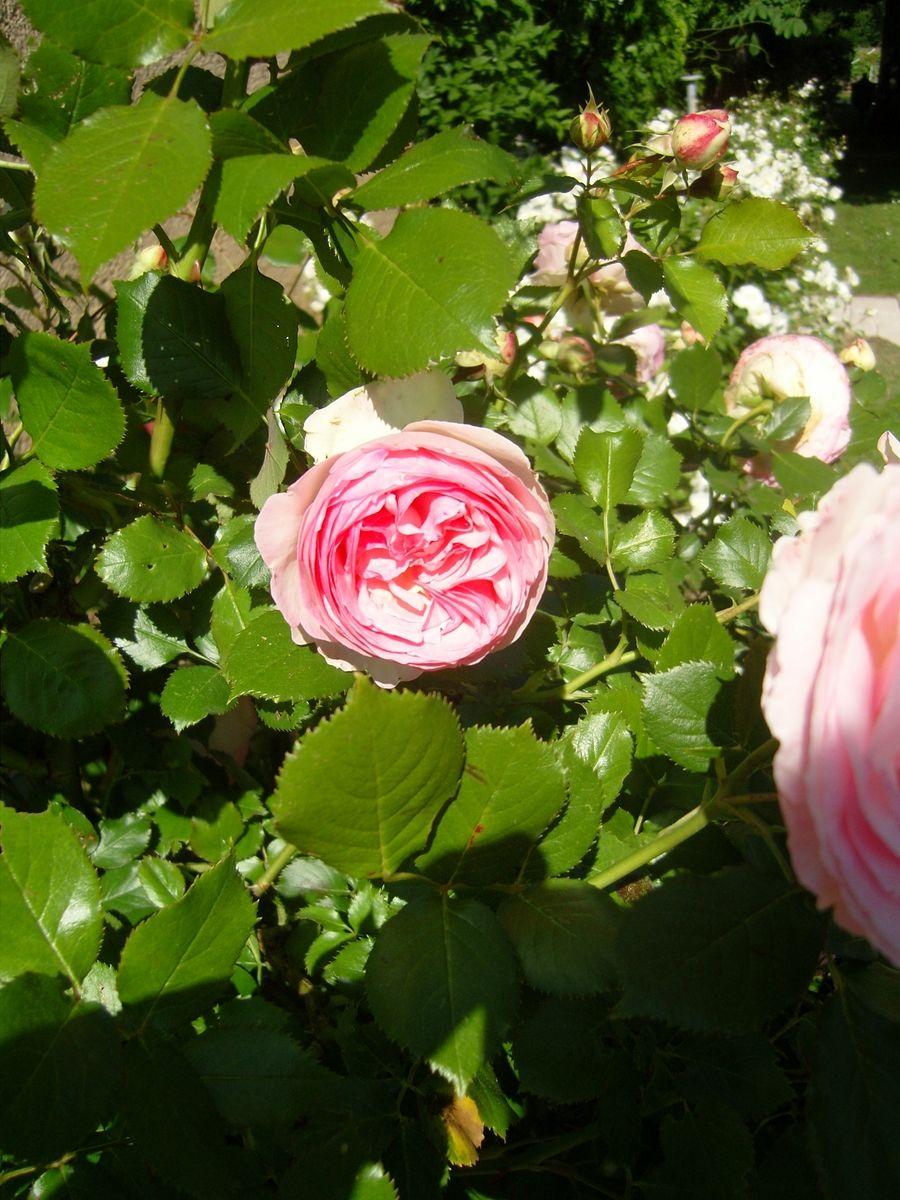 Pierre de Ronsard... un poète à Touny les Roses (avec