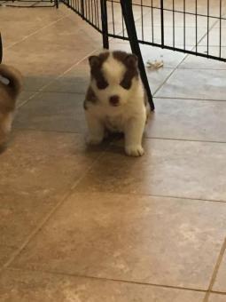 Siberian Husky Pups For Sale White Siberian Husky Siberian Husky Husky Puppy