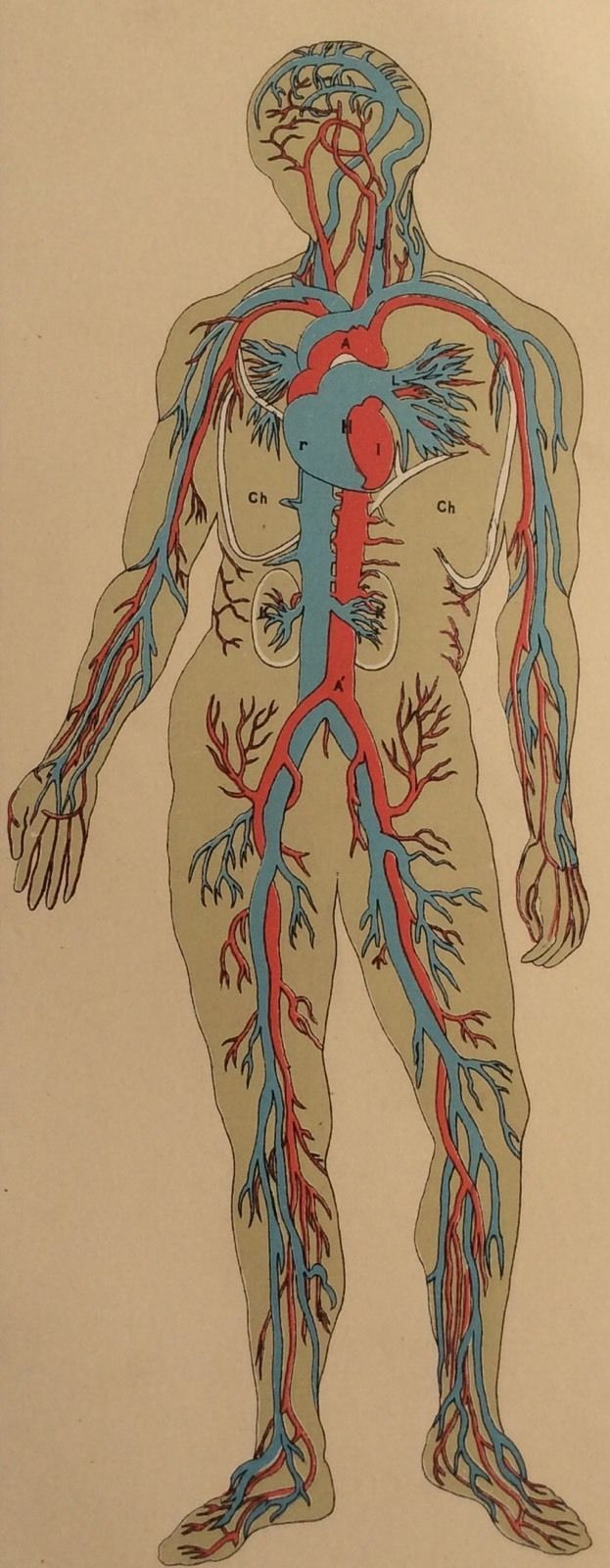 Vintage 1890s Human Anatomy Dissection Arteries Bookplate Print