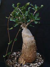 Fockea edulis- Caudex Caudiciform Succulent Bonsai Fat Trunk