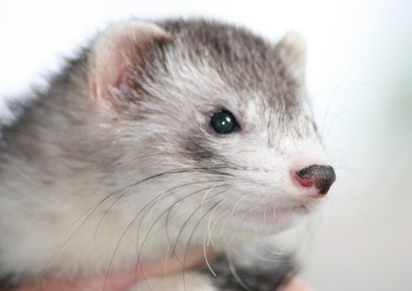 ferret  by EchoOsmosis on deviantart