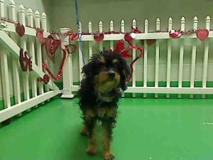 A418818 Urgent Moreno Valley Animal Shelter Is An Adoptable Cocker Spaniel Dog In Moreno Valley Ca If You Are Cocker Spaniel Dog Dog Adoption Animal Shelter