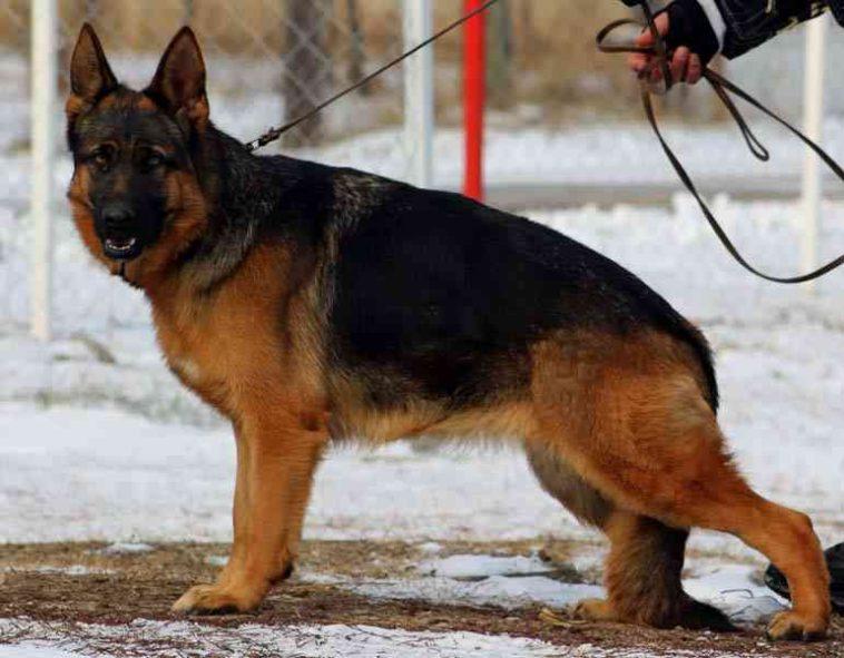 German Shepherd Dog 2 Year Old Show Line Import For Sale German Shepherd Dogs German Shepherd Shepherd Dog