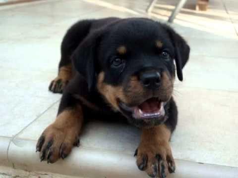 Rottweiler Puppy Is Already A Guardian Rottweiler Puppies