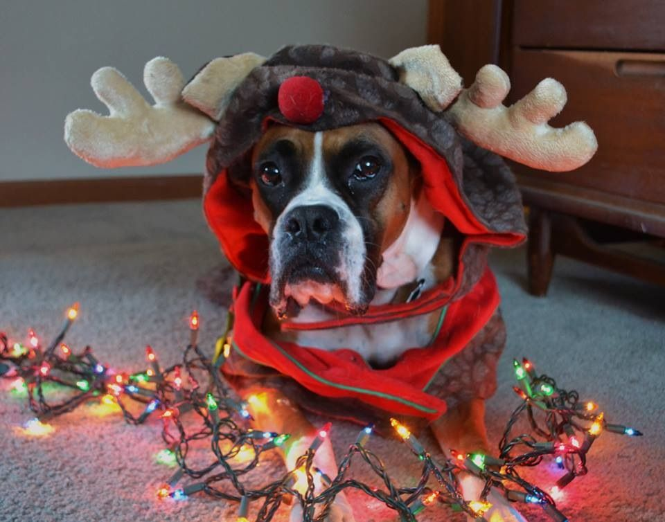 Christmas boxer...red nosed moose? Christmas dog