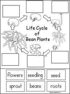 life cycle of a bean plant activity projects to try kindergarten science plants life cycles. Black Bedroom Furniture Sets. Home Design Ideas