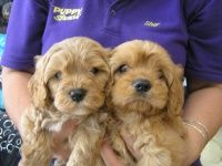 Puppy Shack Cavoodles Puppies For Sale Puppies Mini Dachshund