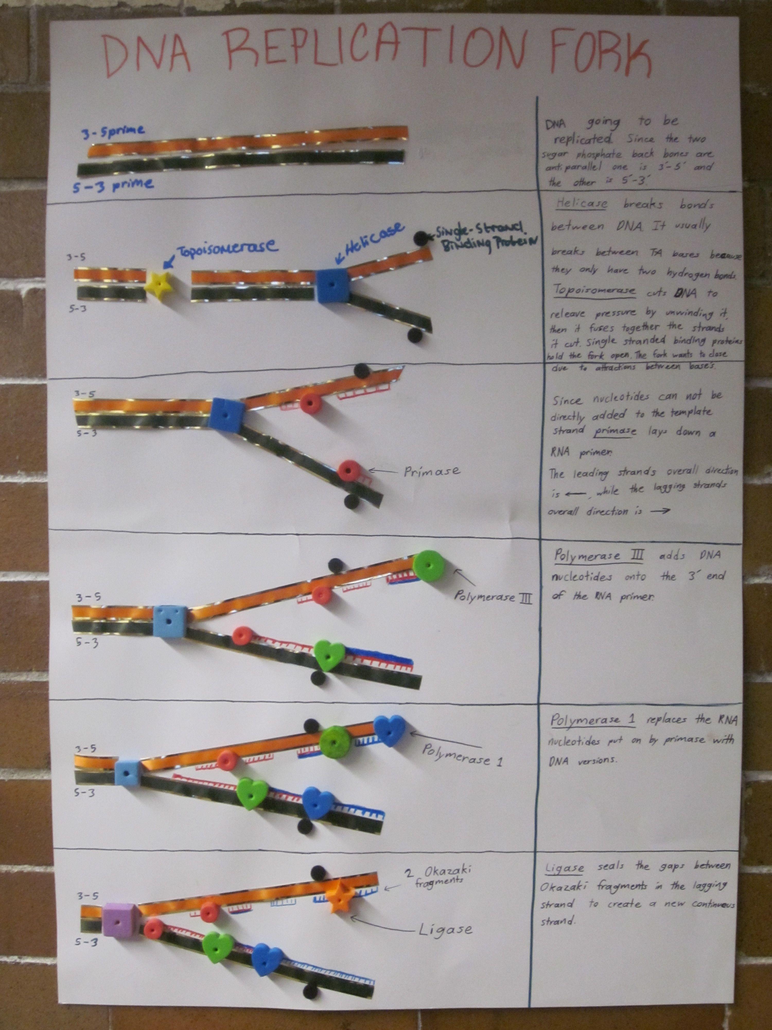 Dna Replication Poster High School Biology