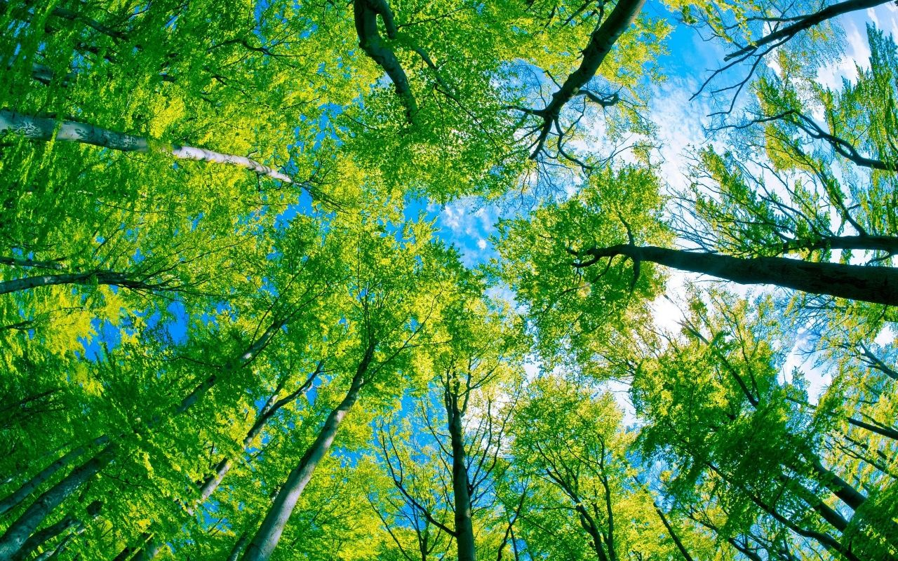 Download Green Forest Tree And Pure Blue Sky Wallpaper In 1280x800 Resolution Forest Wallpaper View Wallpaper Tree Wallpaper