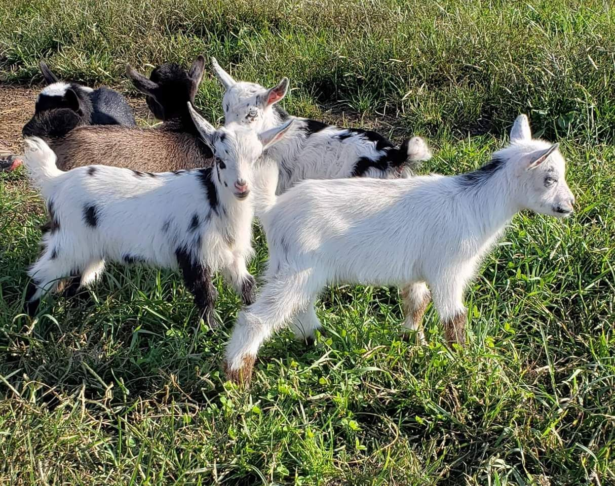 Nigerian Dwarf Goats For Sale in Ohio and West Virginia | Micro