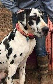 Great Dane Dog For Adoption In Greenville Sc Adn 420460 On