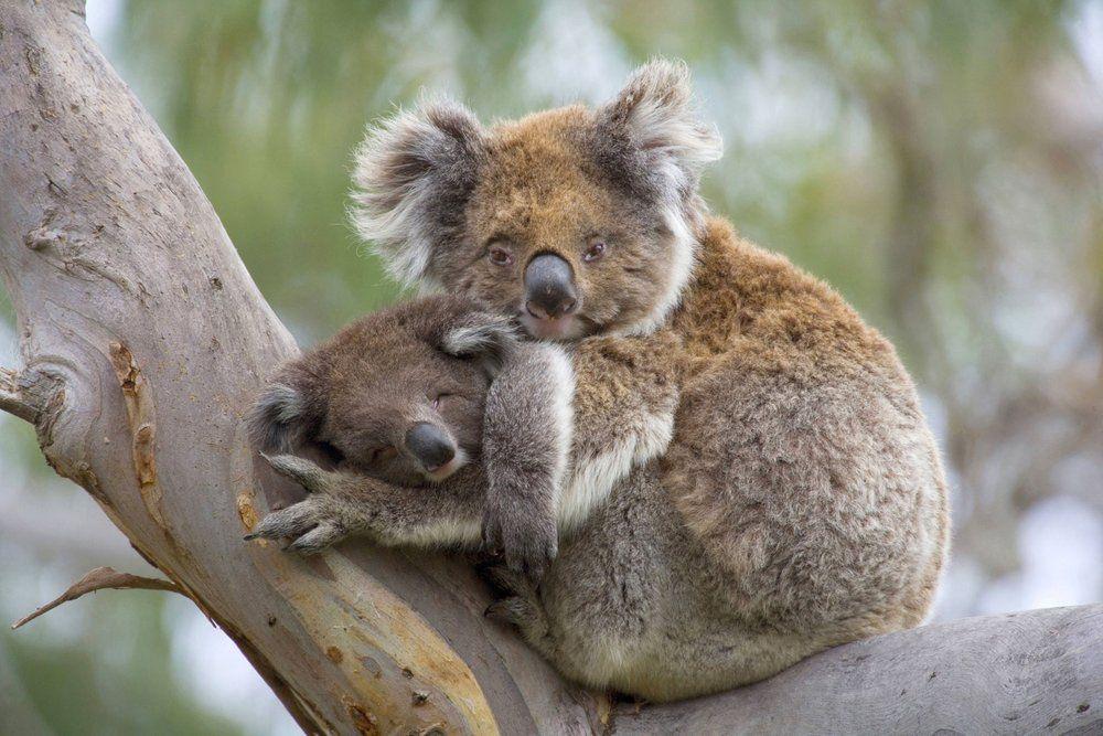 Koalas (mit Bildern) Koala baby, Koala bären, Süßeste